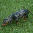 Sammy is a Short Haired AKC Registered Black and Tan Dapple Male, Sometimes Referred as a (Silver Dapple), and is $1000,