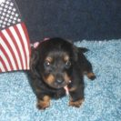 Rosie's Longhair, AKC and CKC Registered, Black and Tan Female is Sold to Kristy.