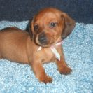 Rosie's Short Haired AKC and CKC Registered Red Sable Male with Full Breeding Rights is Sold to Donna.