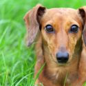 How to Care for Your Dog's Ears