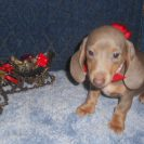 Willow's 3rd AKC and CKC Registered Short Haired Isabella and Tan Female is Sold to Hanson.