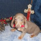 Willow's 2nd AKC and CKC Registered Short Haired Isabella and Tan Female is Sold to Lou.