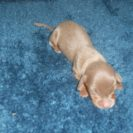 Willow's 1st AKC and CKC Registered Short Haired Isabella and Tan Female and The Runt is Sold to Judy.
