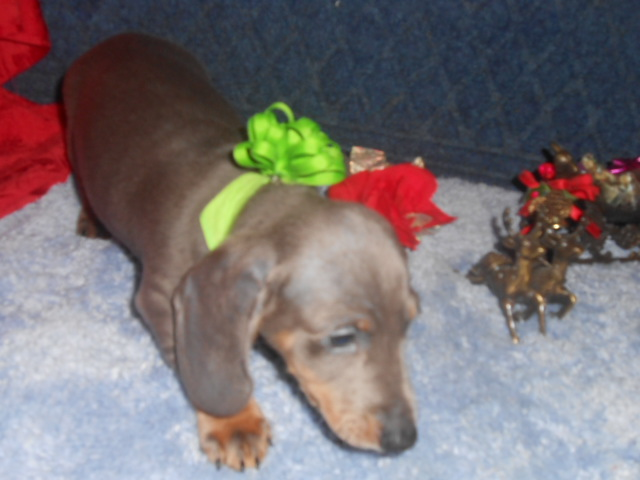 Lulu's AKC and CKC Registered Short Haired Blue and Tan Miniature Dachshund Male is Sold to Forrest.