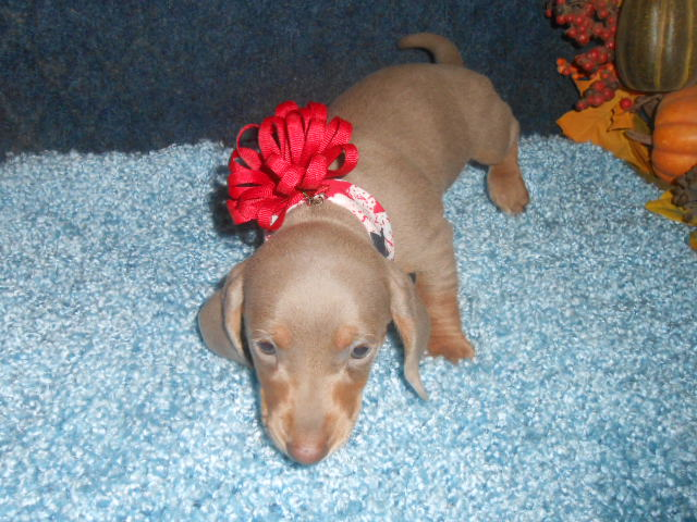 Willow's 4th AKC and CKC Registered, Short Haired Isabella and Tan Female is Sold to Ashley.