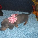 Willow's 1st AKC and CKC Registered Short Haired Blue and Tan Female is Sold to Gail.