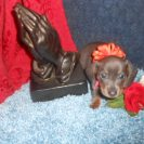 Willow's 2nd AKC and CKC Registered Short Haired Blue and Tan Female is Sold to Charlene.