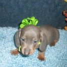 Willow's AKC and CKC Registered Short Haired Blue and Tan Male is Sold to Jeremy, Jason, and Becky.
