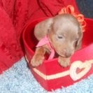 Lulu's AKC and CKC Registered Miniature Short Haired Isabella and Tan Female Dachshund is Sold to Giulia.