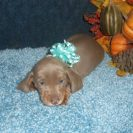 Lulu's 1st AKC and CKC Registered Short Haired Isabella and Tan Miniature Dachshund Male is Sold to Crystal.