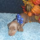 Lulu's 2nd AKC and CKC Registered Short Haired Isabella and Tan Miniature Dachshund Male is Sold to Amy.