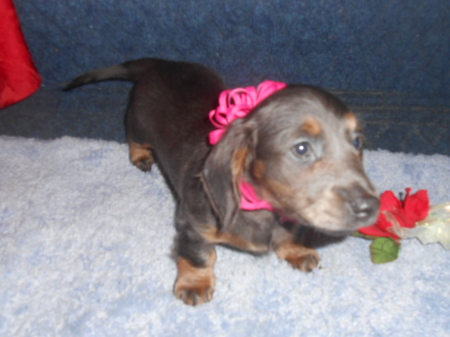 Lola's Longhair AKC Registered Blue and Tan Female is Sold to Cody.