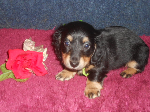 Lola's Longhair AKC Registered Black and Cream Male is Sold to Bill.