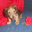 Lola's Longhair AKC Registered Red Sable Female is $750 is Sold to Tonia.