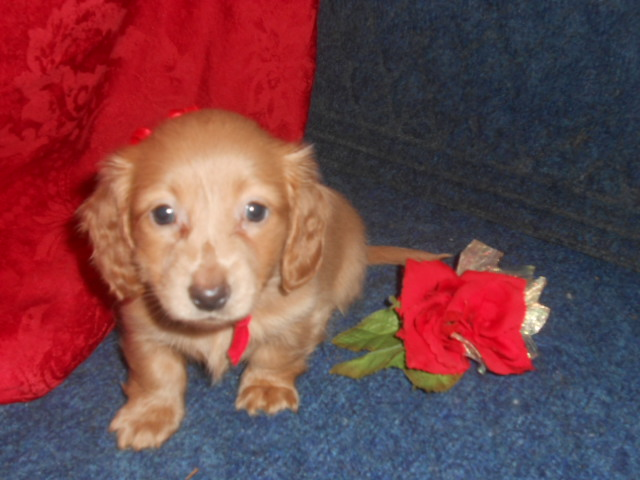 Lola's 2nd Longhair AKC Registered Cream Female is Sold to Taylor.