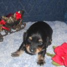 Lola's Longhair AKC Registered Black and Tan Male is Sold to Bill.