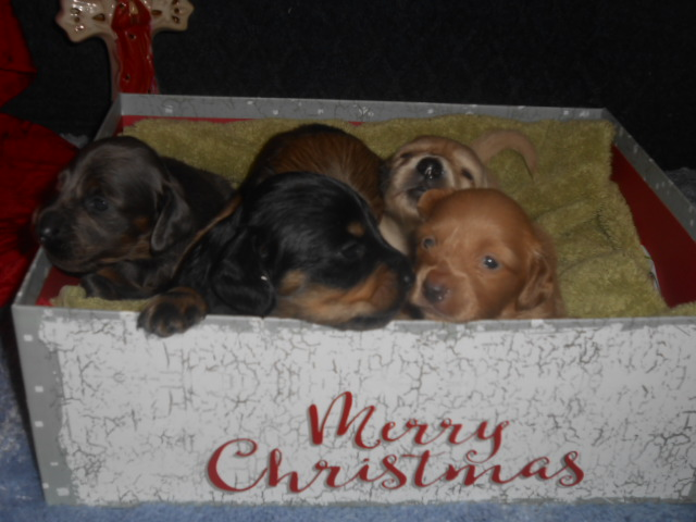 Lola's little Christmas Present Puppies, and May God Bless You!