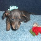 Jenny's Little Short Haired AKC and CKC Registered Blue and Tan Male is Sold to Steve.