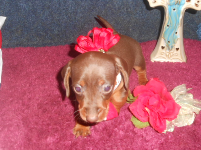 Jenny's Short Haired AKC and CKC Registered Chocolate and Tan Female is Sold to KC .