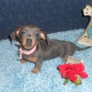 Jenny's Little Short Haired AKC and CKC Blue and Tan Female, and the Runt is Sold to Peggy.