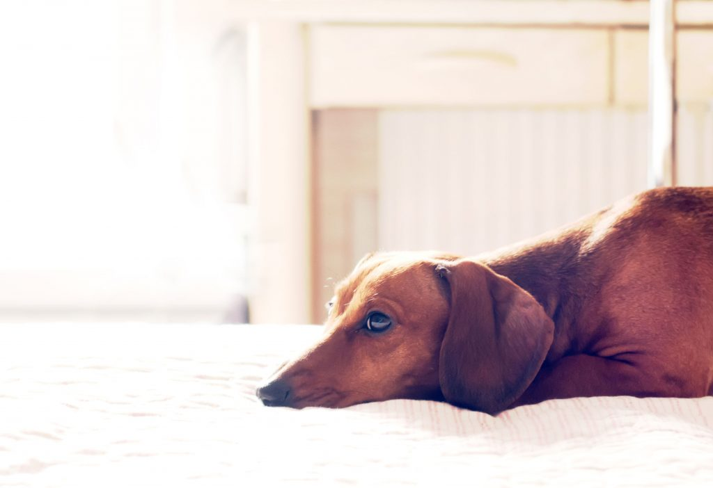 Sad Dachshund Lying Down