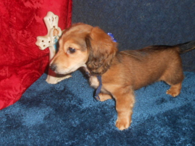Magnolia's 1st Longhaired AKC & CKC Registered Red Sable Male is Sold to Doris.