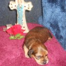 Magnolia's 1st Longhaired AKC & CKC Registered Red Sable Male is Sold to Ken.