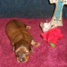 Magnolia's little Longhair AKC & CKC Registered Red Sable Female is Sold to Deb.