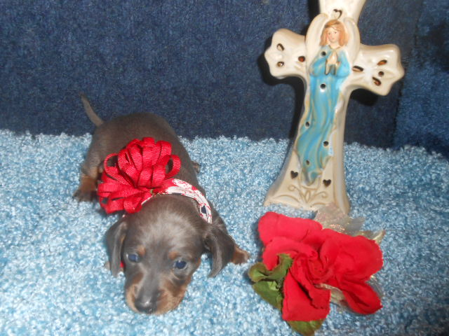 Crystal Gale's Short Haired AKC and CKC Registered Blue and Tan Female is Sold to Mary.