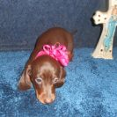 Crystal Gale's little AKC and CKC Registered Short Haired Chocolate and Tan Female is Sold to Mary.