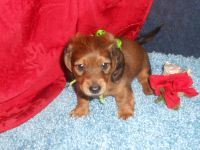 Magnolia's 2nd Longhair AKC & CKC Registered Longhair Red Sable Male is Sold to Debbie.