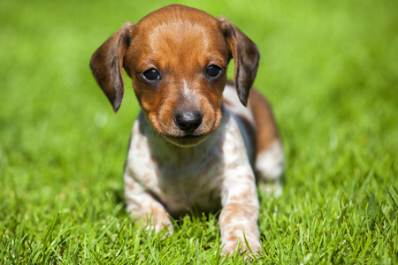 Mini Dachshund on the Grass
