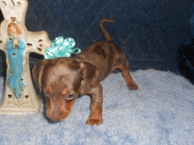 Windy's AKC and CKC Registered Short Haired Chocolate and Tan Dapple Male is Sold To Patti.