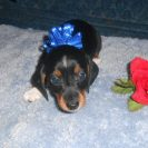Windy's AKC and CKC Registered Short Haired Black and Tan Piebald Male Sold to Rossha
