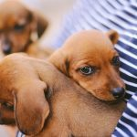 dacshund puppies being held by owner