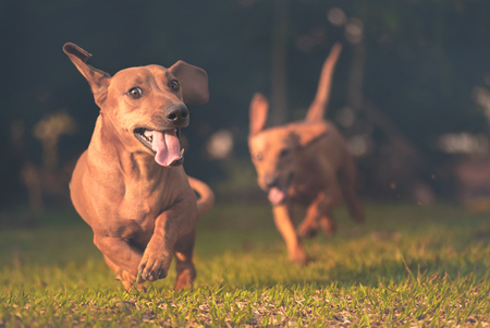 4 Reasons to Give Your Dachshund NuVet Plus