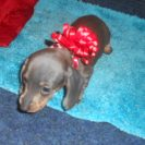 Lulu's 1st AKC and CKC Registered Short Haired Blue and Tan Female is Sold to Shanann.