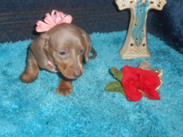 Lulu's Short Haired AKC and CKC Registered Isabella and Tan Female is Sold to John.