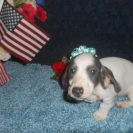Lulu's Short Haired AKC and CKC Extreme Blue and Tan Piebald Male is Sold to Kristina.