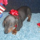 Lulu's AKC and CKC Registered Short Haired Blue and Tan Female is Sold to Robert.