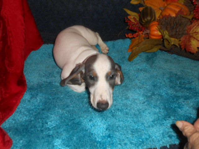 Lulu's Short Haired AKC & CKC Extreme Blue and Tan Piebald Male is Sold to Robin & Joyce.