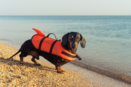 Summer Safety Tips for Your Dachshund