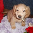 Lola's 1st Longhair AKC Registered Cream Male is Sold to Charlotte.