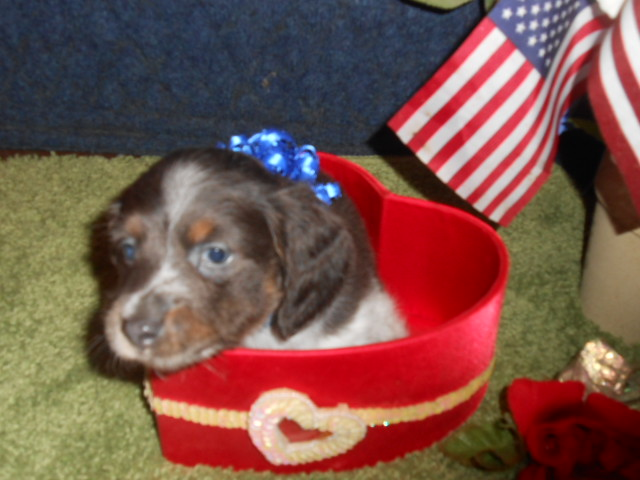 Bluebell's Long Haired, AKC and CKC Registered, Blue and Tan Piebald is Sold to Jennifer.