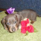 Willow's Short Haired AKC & CKC Registered, Blue & Tan Female is Sold to Emily.