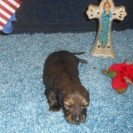 Lola's Little Longhair AKC Registered Red Sable Male is Sold to Tracy.