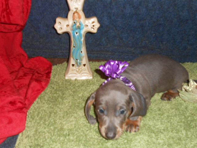 Willow's 3rd Short Haired, AKC & CKC Registered Blue and Tan Male is Sold to Cheryl.