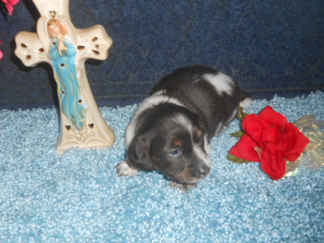 Bluebell's Short Haired, AKC and CKC Registered, Blue and Tan Piebald is Sold to Jennifer.