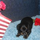 Bluebell's little Longhair AKC and CKC Registered, Black and Tan Male is Sold to Lasheda.