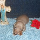 Willow's Short Haired, AKC and CKC Registered, Isabella and Tan Male is Sold to Denise.
